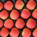 mela pinova