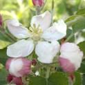 La fioritura